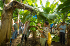 A worker cuts some bananas from a tree at the Del Monte banana plantation. The worker on the right is holding a pad that is placed between the bunches of bananas to prevent damage as they are transported back to the plant for processing.