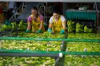 Workers at the Del Monte banana plantation wash and prepare bananas for shipping.