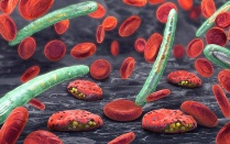 3D illustration of blood cells, plasmodium causing malaria illness.