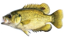 Artist's illustration of a rock bass.
